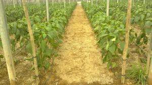 plantas de pimiento (archivo)